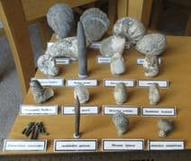 Jurassic Pliensbachian Fossil Collection